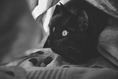 Benito under fabrics (miguel_osvaldo) Tags: cat kitten benito blackcat fujifilm xt2 eyes hidden pet animal panther ninjacat blackandwhite