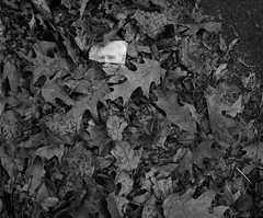 Portland (austin granger) Tags: portland oregon leaves evidence sidewalk face autumn film gf670