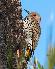 Northern Flicker (nate.arnold) Tags: bird birdphotography birding birds estero esterobaypreserve esterobayscrubpreserve esteroriver esteroscrubpreserve florida floridabirds floridahiking floridanature floridastateparks floridawildlife nature naturephotography wildlife wildlifephotography northernflicker flicker birdwalk beak wings wetland nikond500 nikon birdographer feathers
