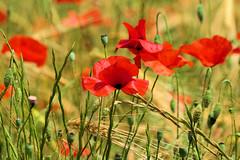 P1110711 (alainazer) Tags: saintmichellobservatoire provence france fiori fleurs flowers fields champs colori colors couleurs coquelicot poppy papavero blé grano wheat