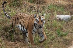 Grassland Tiger (Aravind Venkatraman) Tags: aravindvenkatraman aravind avfotography avphotography avaineyescom av wildlife wildlifephotographer tiger panthera tigris