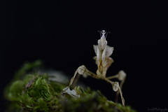 Idolomantis Diabolica (LovelyPhotographie) Tags: insect insecte animal animaux religieuse mante mantes diabolica idolomantis