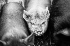 Oink (Jeremy Beckman) Tags: blackandwhite tenmile oregon pigs piglets livestock grass hair texture detail cute animals ears nose