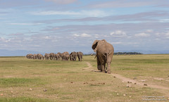 African Elephants - Loxidonta africana (rosebudl1959) Tags: africanelephants amboseli zebraplainsamboseli november 2019