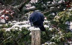 Cute Crow (Melissa M McCarthy) Tags: americancrow crow corvid bird animal nature outdoor wildlife wild black cute pose posing snow winter trees environment green newfoundland canada canon7dmarkii canon100400isii