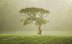 Sunshine and Showers (Glenn D Reay) Tags: tree solitary sunshine shower rain autumn backlit field pentaxart pentax k70 pentax55300plm glennreay