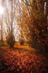 Autumn (raidtxujones) Tags: nature outdoors beauty in tranquil scene forest no people leaf tree autumn day scenics landscape woods lush foliage change lleida catalonia spain sun sunbeam fall