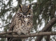 Grand duc/Great horned owl-21780 (michel paquin2011) Tags: rouge grand duc amérique rapace nocturne hiboux