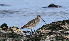 Curlew on Dumpton Gap (philbarnes4) Tags: curlew bird coast rocks sea coastline broadstairs thanet kent england dumptongap philbarnes nikon nikond55600 wadingbird