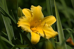 The Yellow Lilly (Scott 97006) Tags: flowers yellow beauty pretty nature stamens pollen petals