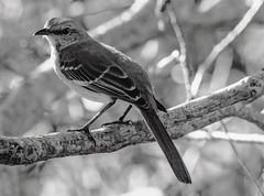 A Few Shades Of Grey (ACEZandEIGHTZ) Tags: mockingbird bird avian monochrome blackandwhite mimuspolyglottos nikond3200 bokeh tree branches backyard birdwatcher closeup macro