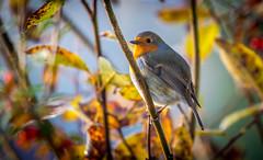 Autumn Friend (stepheno1912) Tags: robin tree autumn colour yellow branch perch beak feathers sun light bright blue sky leaves