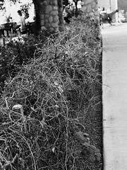 Branches (Lainey1) Tags: blackandwhite monochrome olympus penf olympuspenf lainey1 elainedudzinski arizona nature branches gilbert agritopia