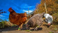 Les 3 copines (didier95) Tags: poule oiseau bassecour poulailler