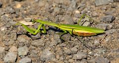 _U7A7405 (rpealit) Tags: scenery wildlife nature sandy hook gateway national recreation area praying mantis