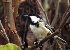Mésange noire (chriscrst photo66) Tags: bird animal oiseau mésangenoire tits gironde jardin garden nature wildlife photographie photography ornithologie ornithology aquitaine