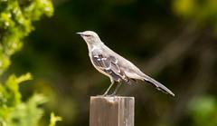 _U7A7434 (rpealit) Tags: scenery wildlife nature sandy hook gateway national recreation area mockingbird bird