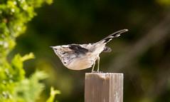 _U7A7436 (rpealit) Tags: scenery wildlife nature sandy hook gateway national recreation area mockingbird bird