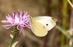 _U7A7437 (rpealit) Tags: scenery wildlife nature sandy hook gateway national recreation area cabbage white butterfly