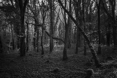 Woodlands (21) (Ger208k) Tags: ireland kildare donedeaforestpark woodland forests trees foliage leaves branches landscape greyscale blackandwhite gerardmcgrath