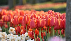 Bright Tulips @Keukenhof Tulip Garden (traveller.anu) Tags: keukenhof tulip garden europe spring tulips nature flora outdoors bright red yellow 2019 holland flowers beautiful