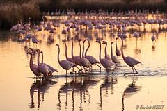 Flamants roses au soleil couchant (jean-louis21) Tags: camargue flamant rose pink sunset marais flamingo