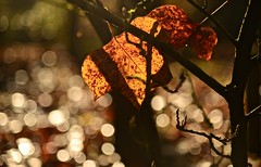 AUTUMN LEAF (chris .p) Tags: bodeham arboretum worcestershire nikon d610 leaf light capture autumn 2019 england uk midlands november detail tree trees sunlight sparkle