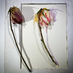 Day 1580.  The daily rose painting for today.   #art #バラ #rose #flower #水彩画 #stilllife #process #artclass #painting #sketching #watercolour  #dailyproject #watercolorclass #watercolourakolamble (akolamble) Tags: art バラ rose flower 水彩画 stilllife process artclass painting sketching watercolour dailyproject watercolorclass watercolourakolamble