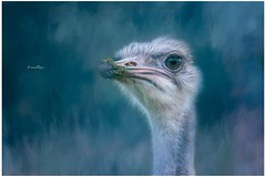 Even the Ostrich, with its long neck and sharp eyes, Cannot see what will happen in the future. ~African Proverb~ (Lorrainemorris) Tags: fineart sony7rm2 bird eyes photoshop lorrainemorris creativephotography artistic painting ostrich