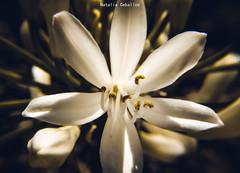 Agapantus ♥️ (NatyCeballos) Tags: flower flor agapantus macrofotografia macro nature naturaleza flores