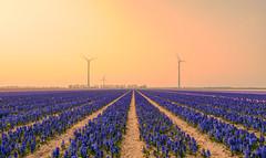 Foggy fields of hyacinths. (Alex-de-Haas) Tags: 1635mm d500 dutch europa europe holland nederland nederlands netherlands nikkor nikkor1635mm nikon nikond500 noordholland agriculture akkerbouw beautiful beauty bloemen bloemenvelden boerenland bollenvelden bulbfields carbonneutral electricity elektriciteit energie energy farmland farming flowerfields flowers groenestroom hyacint hyacinten hyacinth hyacinths landbouw landscape landscapephotography landschaft landschap landschapsfotografie lente lucht mooi polder pracht renewable renewableenergy renewables schoonheid skies sky spring sundown sunset wind windenergy windfarm windpark windpower windturbine windenergie windmolen windmolenpark zonsondergang burgerbrug northholland