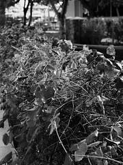 Ivy (Lainey1) Tags: blackandwhite monochrome olympus penf olympuspenf lainey1 elainedudzinski arizona nature branches gilbert agritopia