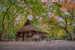 Fall colors in Nara, Japan (FollowingNature (Yao Liu)) Tags: japan fallcolors fallfoliage deers 奈良 followingnature nikon nikonusa