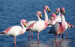 Flamingos (__ PeterCH51 __) Tags: flamingo chileanflamingo bird animal waterbird lagoon flamencosnationalreserve sanpedrodeatacama chile flamingolagoon peterch51 wadingbird