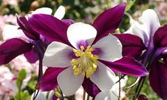 A Touch of Purple (Lani Elliott) Tags: homegarden garden flower flowers columbine aquilegia purpleflowers purpleandwhiteflowers pretty closeup upclose macro bokeh bright light colour colourful stamens petals lanisflowers lanisgarden lanielliott
