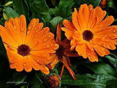 De dos en dos 014 (adioslunitaadios) Tags: plantasyflores maravilla pétalos pétalosnaranja airelibre campo jardín flores anaranjado fujifilm macro