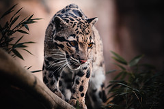 Clouded leopard (Soren Wolf) Tags: animal animals day outdoors close mammal nature nopeople zoo wroclaw cloudedleopard clouded leopard big cat feline large nikon d750 300mm
