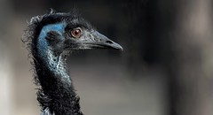 EMU (Fritz Zachow) Tags: erlebniszoo hannover deutschland niedersachsen vogel emu