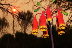 Christmas Bells 2019 (LSydney) Tags: christmasbell flower wildflower smoke blandfordianobilis manlydam sun