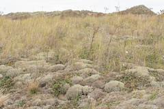 Cladonia ciliata - Cladoniaceae - Blakeney Point NNR, Norfolk, UK-4 (Nature21290) Tags: blakeneypointnnr cladonia cladoniaciliata cladoniaceae coast norfolk october2019 sanddunes uk