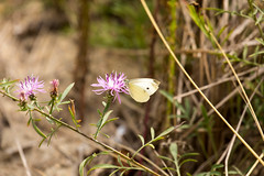 _U7A7439 (rpealit) Tags: scenery wildlife nature sandy hook gateway national recreation area cabbage white butterfly