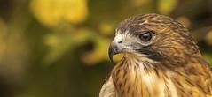 Red Tailed Hawk.... (Kevin Povenz) Tags: 2017 october kevinpovenz westmichigan michigan kentcounty blandfordnaturecenter redtailedhawk hawk raptor bir birdsofprey canon7dmarkii sigma150500 fall portrait