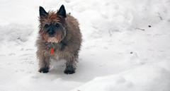 Sedum - 12/2/19 (myvreni) Tags: vermont nature winter outdoors animals dogs cairnterriers pets