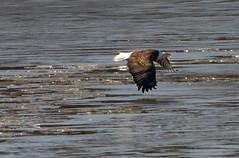 Under the Radar (114berg) Tags: 05december19 bald eagle lake potter mississippi river rock island illinois