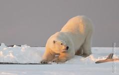 Polar Bear (karenmelody) Tags: alaska animal animals familyursadae kaktovik mammal mammals polarbear usa ursusmaritimus vertebrate vertebrates location salcha unitedstatesofamerica