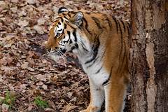 "'Eye' of the Tiger (annjbee ""Birdie Lover"") Tags: tigers yorkshirewildlifepark nature wildlife zooanimals yorkshire"