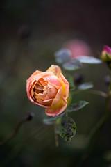 Rose (tonybill) Tags: december gardens miscellaneous olympusomzuiko90mmf2macro rhs rhswisley sonya7iii surrey voigtlandernokton40mmf12fe winter wisley bokeh