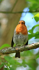 A Robin just checking me out. (BIKEPILOT, Thx for + 6,000,000 views) Tags: bird animal fauna nature naturalworld wildlife feathers wings passerine robin robinredbrest paerch red tree leaves kingspond alton hampshire uk england britain