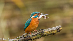 Common Kingfisher in the Netherlands,...... (cozo44ak) Tags: dsc5222facebook2 commonkingfisher bird birds nature color wonderful beautiful europe european fish fishing hunter hansviveen