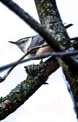 Triangles (Portraying Life, LLC) Tags: cropapsc dbg6 hddfa150450 k1mkii michigan pentax ricoh topazaiclear unitedstates bird closecrop handheld nativelighting backyard yearround resident feeder common